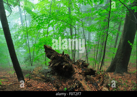 Unberührten Buchenholz (Fagus Sylvatica) und Tanne (Abies sp) Wälder mit Nebel, Stramba Tal, Fagaras-Gebirge, südlichen - Stockfoto