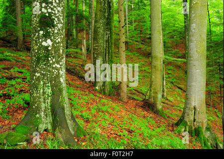 Unberührten Buchenholz (Fagus Sylvatica) und Tanne (Abies sp) Wald Stelzwurzeln, Stramba Tal, Fagaras-Gebirge, südlichen - Stockfoto