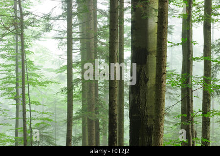 Unberührten Buchenholz (Fagus Sylvatica) und Tanne (Abies sp) Wald im Nebel, Stramba Tal, Fagaras-Gebirge, südlichen - Stockfoto