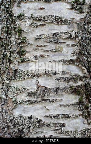 In der Nähe von whiet und schwarze peeling Baumrinde mit Flechten bedeckt - Stockfoto