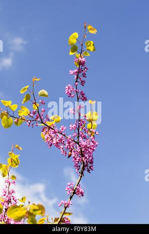 Nahaufnahme von Cercis siliquastrum (Judas-Baum), der gegen einen blauen Himmel blüht, England, Großbritannien