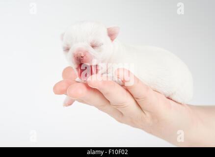 Gähnende Welpen Chihuahua liegt in Frauenhand - Stockfoto
