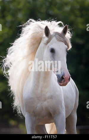 Reinen spanischen Pferd, andalusischen Portrait grauer Hengst Österreich - Stockfoto