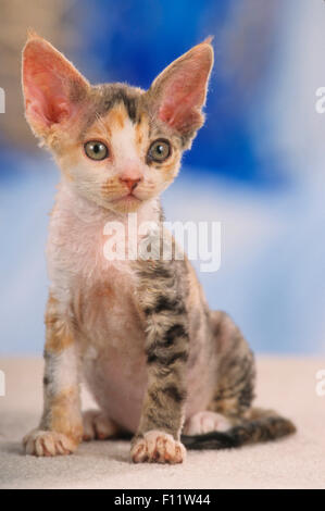 Devon Rex Kitten sitzen Studio Bild - Stockfoto