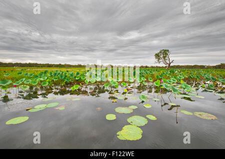 Seerosen am South Alligator River im Kakadu National Park. - Stockfoto