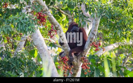 Bornean Orang-Utans (Pongo Pygmaeus) Fütterung auf reife Frucht der Ficus (Fig) Baum, Kinabatangan Fluss, Sabah, - Stockfoto