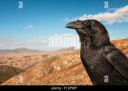 "Kolkrabe (Corvus Corax), bekannt als ""Geronimo"". Fuerteventura, Kanarische Inseln, Spanien. April. - Stockfoto"