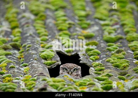 Steinkauz (Athene Noctua) peering aus Nest im Dach der Scheune, UK, Dezember. - Stockfoto
