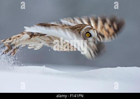Kurze Eared Owl (Asio Flammeus) ausziehen, Bewegungsunschärfe fotografieren, UK, Januar. In Gefangenschaft - Stockfoto