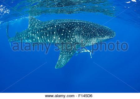 Mami LeMaster Freitauchen mit Walhai (Rhincodon Typus) Kona Coast, Hawaii, Hawaiian Islands. Zentralpazifik. -Modell - Stockfoto