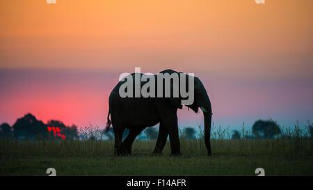 Afrikanischer Elefant (Loxodonta Africana) Silhouette gegen den Sonnenuntergang, Chobe Nationalpark, Botswana. - Stockfoto