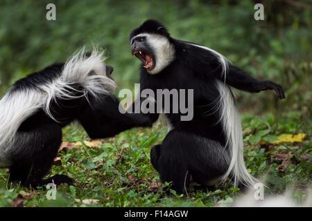 Östlichen schwarz-weißen Stummelaffen (Colobus Guereza) Affen spielen kämpfen. Kakamega Forest National Reserve - Stockfoto