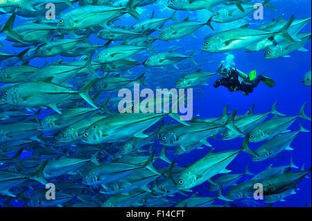 Taucher in einer Schule der Großaugen-Makrelen / Buchsen (Caranx Sexfasciatus), Cocos Island, Costa Rica. Pazifischen - Stockfoto