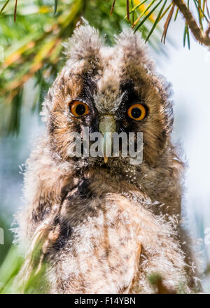 Juvenile Waldohreule (Asio Otus) - Stockfoto
