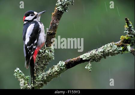 Buntspecht / größere Spotted Woodpecker (Dendrocopos großen) männlich thront auf Zweig abgedeckt in Flechten im - Stockfoto
