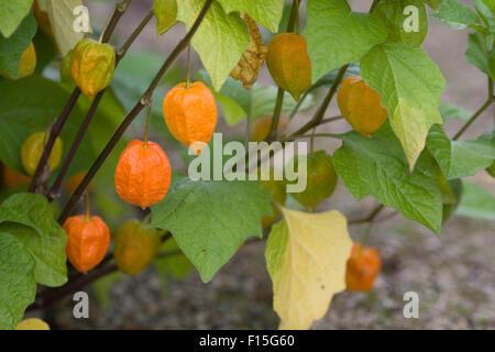 Physalis Alkekengi Franchetii, chinesische Lampions - Stockfoto