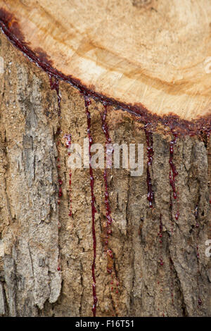 Latex des Baumes ist das rote Blut - Stockfoto
