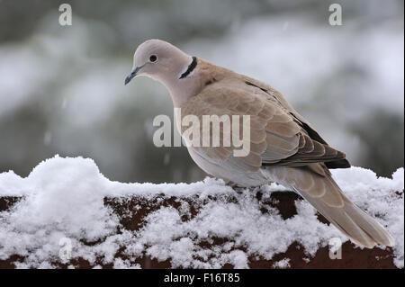 Eurasian collared Dove (Streptopelia Decaocto) thront auf Zaun im Schnee im winter - Stockfoto