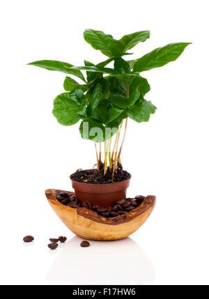 Kaffeebaum Pflanze wachsen Sämling im Boden Haufen isoliert auf weißem Hintergrund - Stockfoto