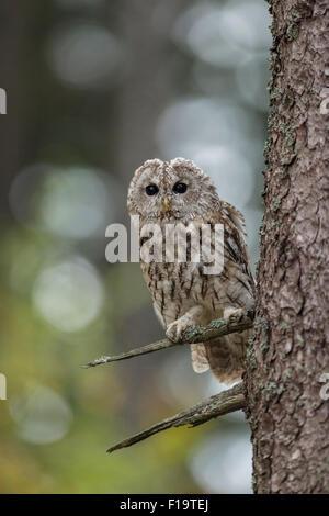 Strix Aluco / Waldkauz / Waldkauz hat seine Augen weit offen. - Stockfoto