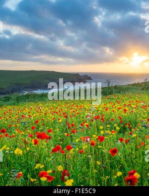 Sonnenuntergang über einem Feld Mohn und wilde Blumen über Porth Witz Strand in der Nähe von Newquay Cornwall England - Stockfoto