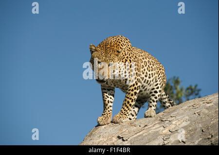 Männliche Leopard (Panthera pardus) Abstieg Baum in Mombo Okavango Delta - Stockfoto