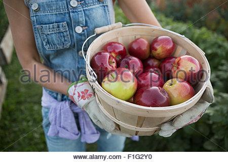 Frau mit frisch geernteten Äpfel Scheffel hautnah - Stockfoto