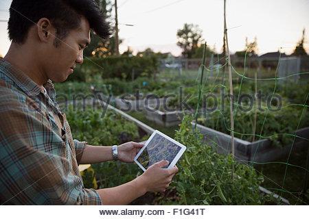Man digitale Tablet Vergleich Snap Erbsen Pflanzen Garten - Stockfoto