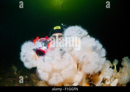 15. Oktober 2014 - weißes Meer, Arktis, Russland - Unterwasser Zwangsjacke und federen Anemone oder altertümlichste - Stockfoto