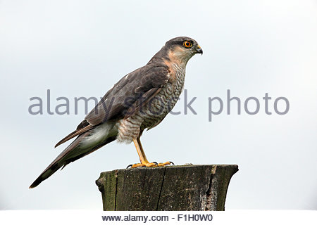 Sparrowhawk thront auf einem Baumstumpf. - Stockfoto