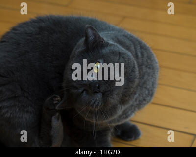 Englisch Kurze Haare Katze In Blau Grau Britische Blau Britische