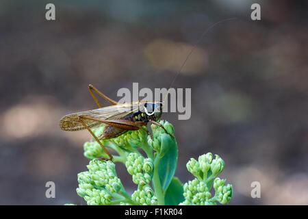 Roesel der Bush-Cricket (Metrioptera Roeselii) im Ice-Werk - Stockfoto