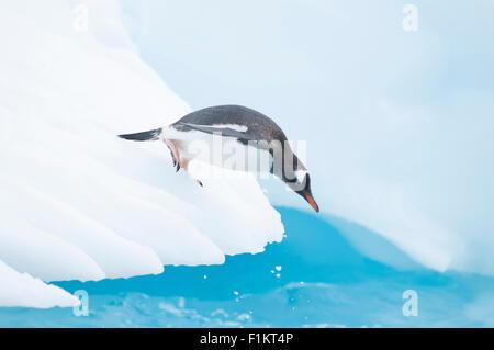 Ein Gentoo Penguin Pygoscelis Papua taucht aus einem Eisberg in der Antarktis - Stockfoto