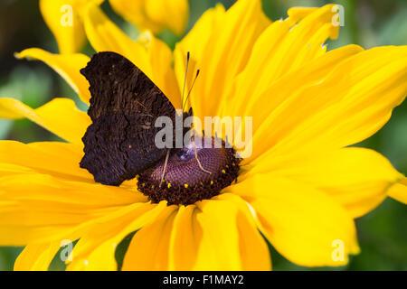 Peacock Motte, Pfau, Besuch einer Blume, Tagpfauenauge, Inachis Io, Nymphalis Io Blütenbesuch, Nektarsuche, Tag - Stockfoto