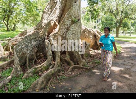 Strebepfeiler Wurzeln des riesigen Java Mandel (Canarium Zeile oder Canarium Indicum) im königlichen botanischen - Stockfoto