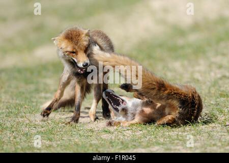 Zwei rote Füchse / Rotfuechse (Vulpes Vulpes), Rivalen im erbitterten Kampf, Kampf, jagten einander. - Stockfoto