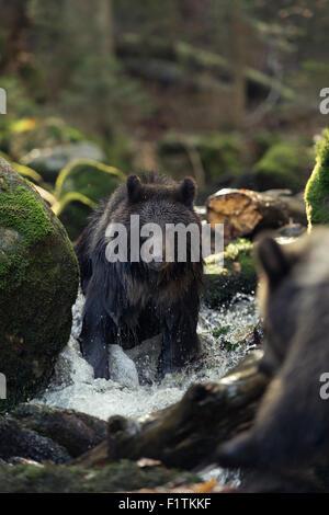 Zwei Europäische Braunbären / Europaeischer Braunbaeren (Ursus Arctos) spielt in einem wilden Bach, großen Steinen, - Stockfoto