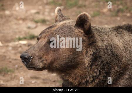 Braunbär (Ursus Arctos) im Zoo von Pilsen in Westböhmen, Tschechien. - Stockfoto