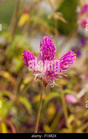 Globus amaranth Blume (Gomphrena Nana) - USA - Stockfoto