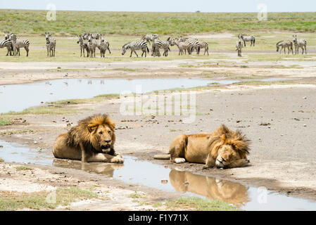 Löwe, Tansania, schlafend, Wildlife, Plains Zebra - Stockfoto