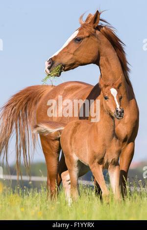 Arabian Horse Chestnut Stute Fohlen stehen Weide Österreich - Stockfoto