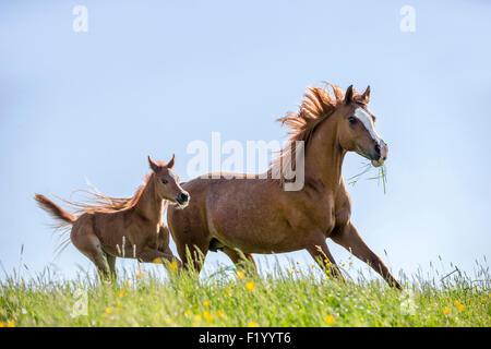 Arabian Horse Chestnut Stute Fohlen galoppieren Weide Österreich - Stockfoto