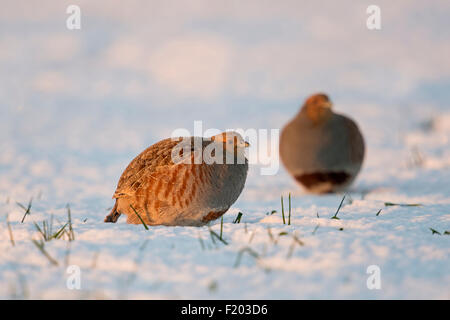 Zwei graue Rebhühner / Rebhuehner (Perdix Perdix) sitzt auf dem Schnee bedeckt Feld im Abendlicht (Deutschland). - Stockfoto