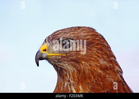 Tiere, Vögel, Bussard; Buteo Buteo; Männlich; Close Up; Headsot; In Gefangenschaft; Süd-West; England;. - Stockfoto