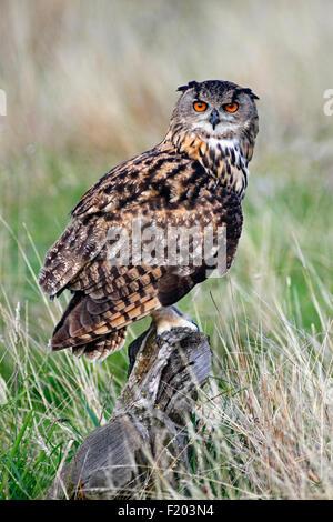 Tiere, Vögel, Eule, europäischen Uhu, Bubo Bubo, thront auf Log in Heide, Suth West, England, UK. - Stockfoto