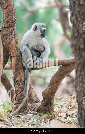 Vervet Affen mit Nachwuchs im Krüger Nationalpark, Südafrika - Stockfoto