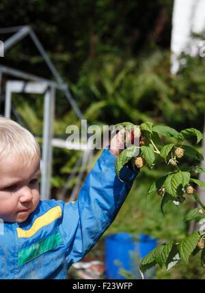 Kleinkind Kommissionierung Autumn Bliss Himbeeren Ende August - Stockfoto