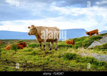 Jersey Kuh Rinder Kalb Kälber Irland Vereinigtes Königreich - Stockfoto