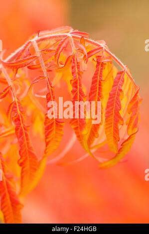 Strauch mit roten Blättern im Herbst in der Nähe der Thorp Grist Mill in Thorp, Washington, USA - Stockfoto