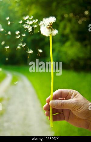 Es weht die Samen von einem Löwenzahn Globe nahm in einem grünen Feld. Sie sind glücklich, wenn Sie die Samen in - Stockfoto